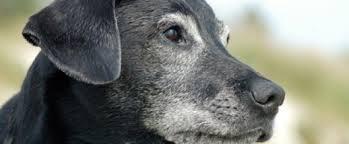 hunde og sygdomme